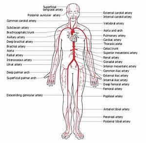 Princliple Arteries  U0026 Veins Of The Body