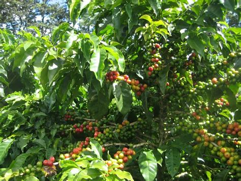 Browse 2,741 coffee plant stock photos and images available, or search for coffee plantation or coffee beans to find more great stock photos and pictures. Coffee Bean Plant Seeds - YEMEN MOKHA SMALL - Smallest Coffee Tree - 1 Pound   eBay