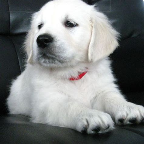 white golden retrievers ideas  pinterest