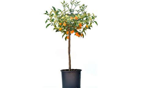 pianta di mandarino in vaso pianta di mandarino cinese o kumquat lalata cm 90 100 in