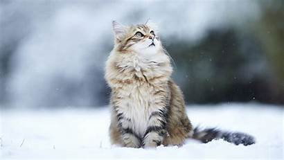 Cat Desktop Wallpapers Snow Cats Background Winter