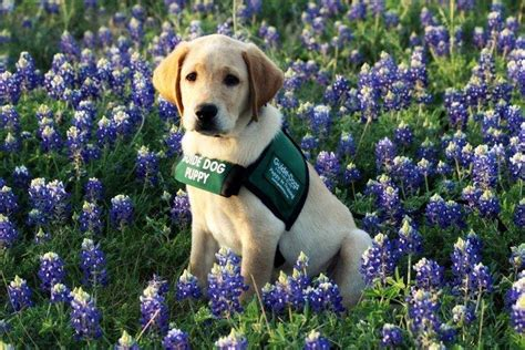 mans  friend  home guide dogs   blind