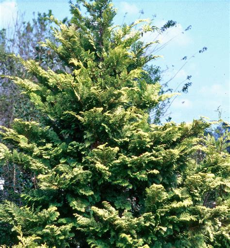 false cypress false cypress gives standout performance mississippi state university extension service