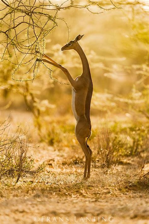 125 Best Images About Gerenuk On Pinterest Tanzania