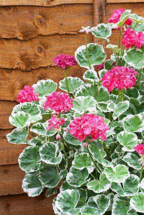 care of pelargoniums the 25 best geraniums ideas on pinterest caring for geraniums geranium care and grass fertilizer