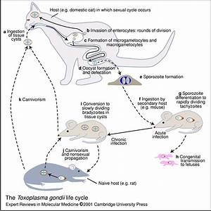 The Toxoplasma Gondii Life Cycle  T  Gondii Is An Obligate