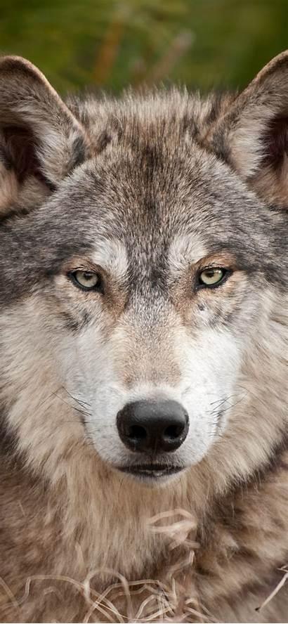 Wolf Iphone Wildlife Animals Muzzle Animal Predator