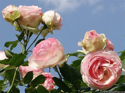 light pink roses light pink roses wallpaper wallpapersafari