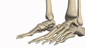 Ankle Joint 3d Anatomy Tutorial