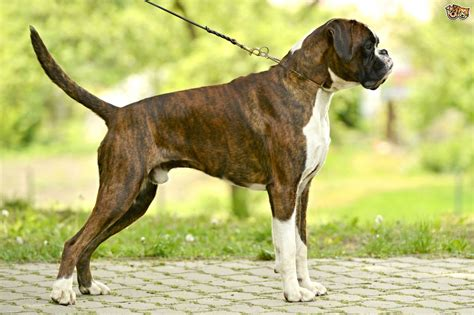 Boxer Dog Breed Information, Buying Advice, Photos And