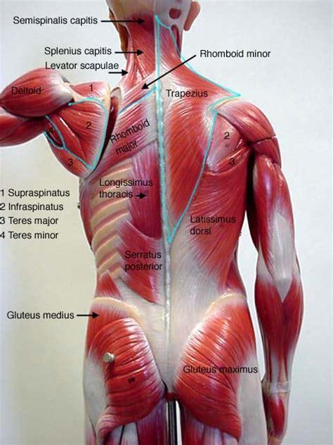 muscle diagrams printable diagram