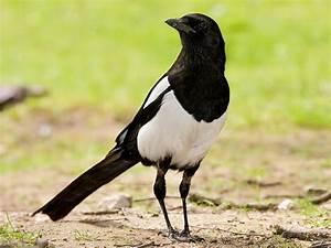 Elster Vogel Vertreiben : elster nd forum f r naturfotografen ~ Lizthompson.info Haus und Dekorationen