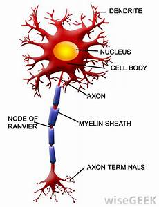 What Are Nodes Of Ranvier   With Pictures