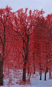 Red Trees in the Snow