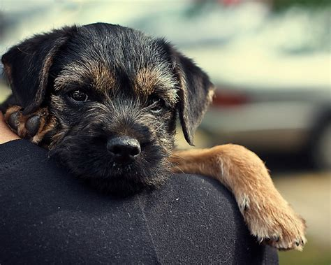 do border terriers shed best 25 border terrier puppy ideas on border