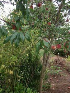 Mediterrane Bäume Winterhart : pfirsichbaum stecklinge winterharte mediterrane obstb ume b ume k belpflanzen ebay ~ Frokenaadalensverden.com Haus und Dekorationen