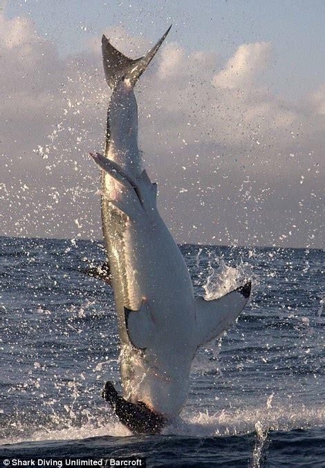 Great White Shark Water