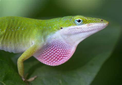 green anole 301 moved permanently
