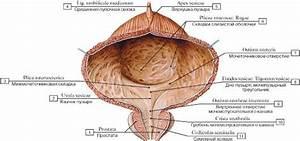 Настойка прополиса на водке от простатита