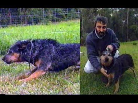 Burkes Backyard Dogs by The Australian Cattle Burke S Backyard
