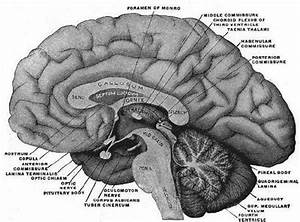 3  Anatomy Of The Corpus Callosum  Plate 715  46