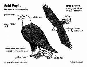 eagle bald With bald eagle diagram