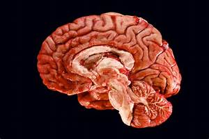 Human Brain: Information, Facts and News