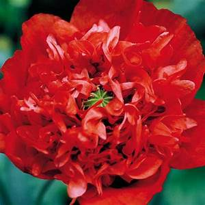Keimzeit Saatgut De : mohn 39 scarlet p ony 39 ~ Lizthompson.info Haus und Dekorationen