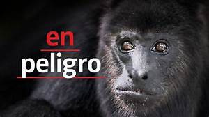 Agenda Form Serie De Netflix Amenaza La Vida De Los Monos Aulladores