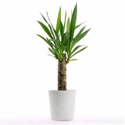 Yucca Plant Plants Tree Elephantipes Indoor Interior