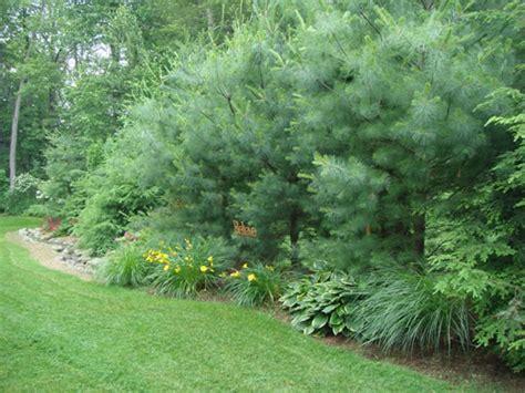 landscape privacy dr dan s garden tips landscaping for privacy