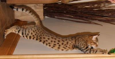 Savannah Designations  Select Exotics  Savannah Cats