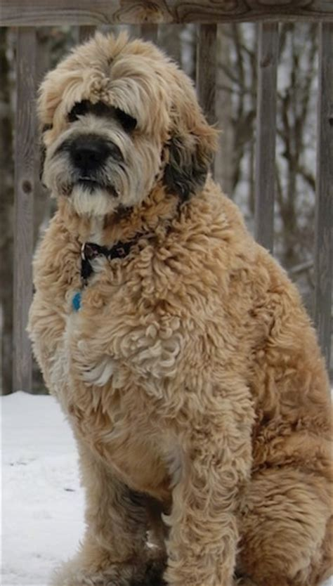 Do Miniature Shar Pei Shed by Saint Berdoodle Dog Breed Information And Pictures