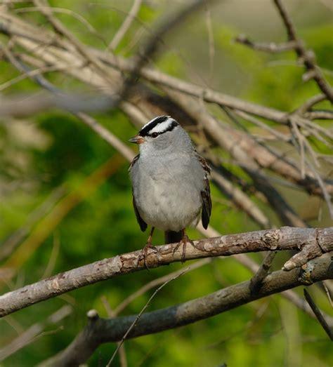 white crowned sparrow zonotrichia leucophrys wildlife