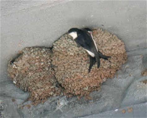 können laufenten fliegen bauen und tiere mehlschwalbe