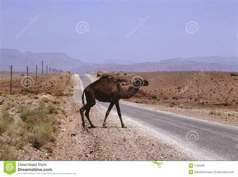 Camel Royalty Free Stock Photos-image