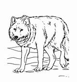 Wolf Coloring Pages Printable Animal sketch template