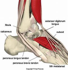 The Foot and Ankle Tribune: Overview of Peroneal Tendon Issues