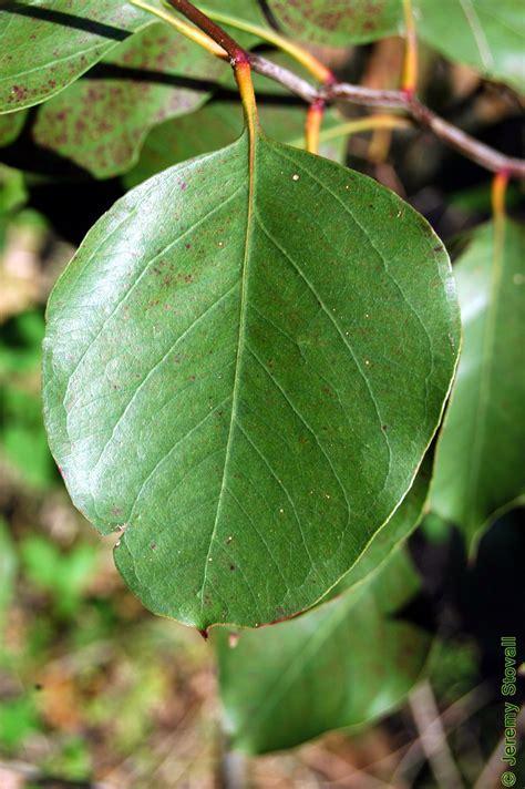 Myrtaceae Eucalyptus Amplifolia Cabbage Gum