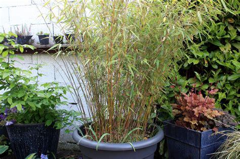 planter  bambou fargesia en pot pivoine