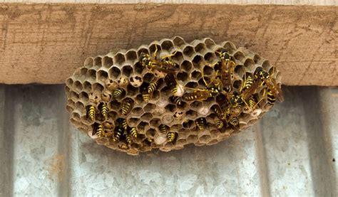 hausmittel gegen wespen hausmittel gegen wespen heimwerker berater de