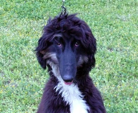 Xedo Afghan Hound Puppy For Sale Euro Puppy