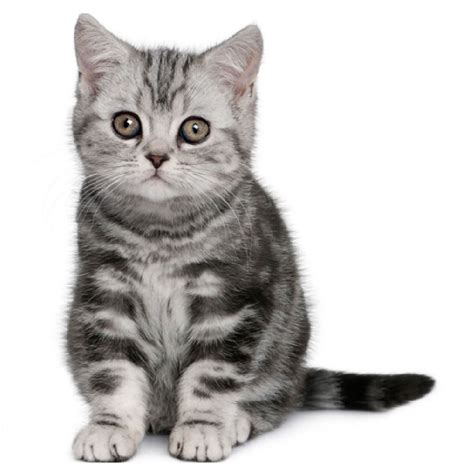 cat breeders the shorthair cat cat breeds encyclopedia