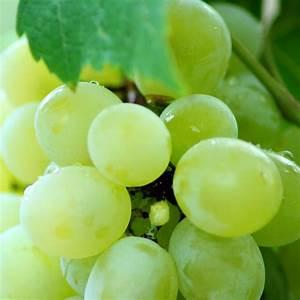 Achat Pied De Vigne Raisin De Table : vitis 39 dattier de beyrouth 39 vente vigne raisin de table blanc tardif ~ Nature-et-papiers.com Idées de Décoration