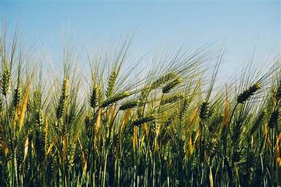 Barley Agriculture Field Wheat