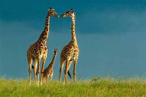 giraffe wallpapers  psd vector eps