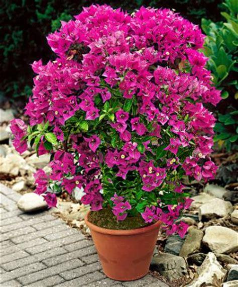 bougainvillea plant bougainvillea spectabilis