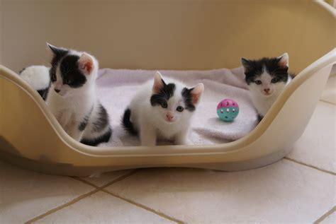 la maison des chats les 15 premiers jours du chaton 224 la maison