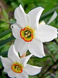 Wann Blühen Narzissen : welche fr hlingsblumen bl hen wann blumen und pflanzen narzissen blumen blumen pflanzen ~ Eleganceandgraceweddings.com Haus und Dekorationen