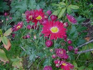 Dendranthema Hybride Balkon : chrysanth mes sports et hybrides vivaces de jardins ~ Lizthompson.info Haus und Dekorationen